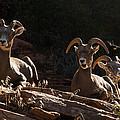 Zion National Park Mountain Sheep Checkerboard Mesa Utah by Robert Ford