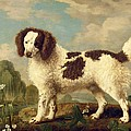Brown and White Norfolk or Water Spaniel Print by George Stubbs