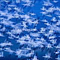 A Flock Of Snow Geese Chen Caerulescens by Ralph Lee Hopkins