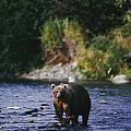 A Kodiak Brown Bear Ursus Middendorfii by George F. Mobley