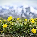 Alpine meadow in Jasper National Park Print by Elena Elisseeva