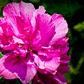 Althea Blossom Print by Barry Jones