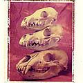 Animal Skulls by Garry Gay