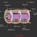 Annelid Worm Anatomy by Francis Leroy, Biocosmos