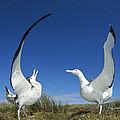 Antipodean Albatross Diomedea by Tui De Roy