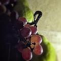 Back Lit Grape Still Life by Andrew Soundarajan