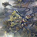 Bladder Wrack (fucus Vesiculosus) Print by Dr Keith Wheeler