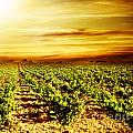 Bright Sunset At Vineyard by Anna Om