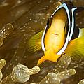 Clarks Anemonefish Among An Anemones by Tim Laman