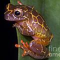 Clown Tree Frog by Dante Fenolio