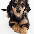 Dachshund Pup Print by Jane Burton