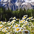 Daisies At Mount Robson Provincial Park by Elena Elisseeva
