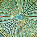 Diatom Alga, Arachnoidiscus by Eric Grave