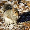 Eastern Gray Squirrel Sciurus by Tim Laman