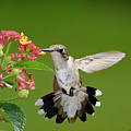 Female Hummingbird by DansPhotoArt on flickr