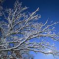 Fresh Snowfall Blankets Tree Branches by Tim Laman
