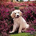 Golden Retriever Puppy by Jane Burton