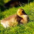 Gosling In Spring by Paul Ge