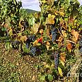 Grapes Growing On Vine by Bernard Jaubert