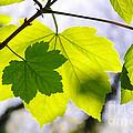 Green Leaves by Carlos Caetano