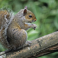Grey Squirrel by David Aubrey