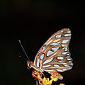 Gulf Fritillary Butterfly by Jim McKinley