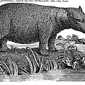 Hippopotamus by Granger