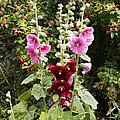 Hollyhock (alcea Rosea) by Dr Keith Wheeler
