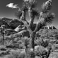 Joshua Tree and Cloud Print by Peter Tellone