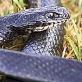 Large Whipsnake (coluber Jugularis) by Photostock-israel