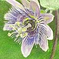 Passiflora Alatocaerulea by Steve Asbell