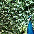 Peacock by Ivan Vukelic