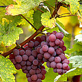 Pinot Noir Grapes by Jeremy Walker