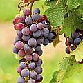 Red grapes Print by Elena Elisseeva