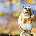 Red Squirrel by Elena Elisseeva