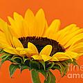 Sunflower Closeup by Elena Elisseeva
