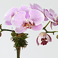 The Branch Of A Flowering Orchid by Nicholas Eveleigh