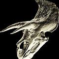 Triceratops Dinosaur Skull by Smithsonian Institute
