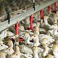 Turkey Farming by Photostock-israel