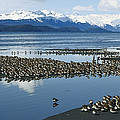 Western Sandpiper Calidris Mauri Flock by Michael Quinton