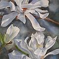 White Star Magnolia Blossoms Print by Sharon Freeman