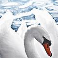White Swan On Water by Elena Elisseeva