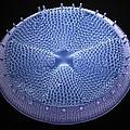 Diatom, Sem by Steve Gschmeissner