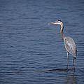 1206-9280 Great Blue Heron 1 by Randy Forrester