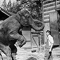 Bill Snyder, Elephant Trainer by Everett