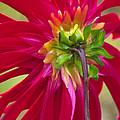 Dahlia (dahlia Cultorum) by Dr. Nick Kurzenko