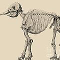 Mastodon Skeleton by Science Source