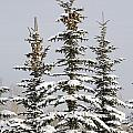 Snow Covered Evergreen Trees Calgary by Michael Interisano