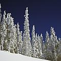 Snow-covered Pine Trees by Natural Selection Craig Tuttle