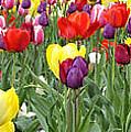Tulip Garden University Of Pittsburgh  by Thomas R Fletcher